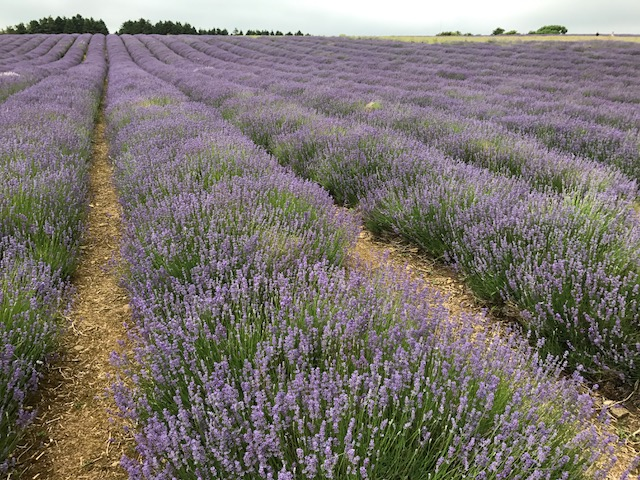 Lavender farm at Snowshill - cotswold tours from Birmingham
