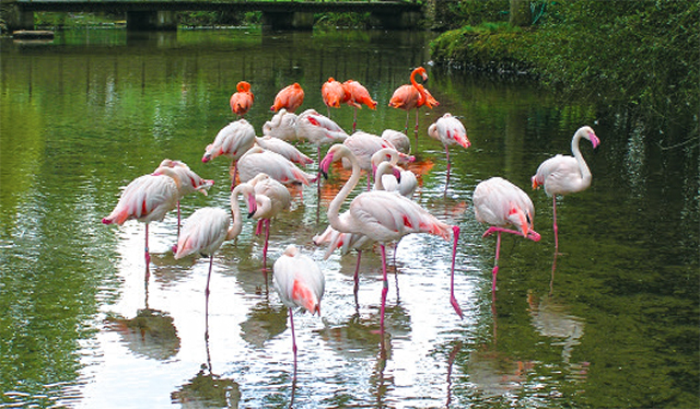 Flamingos at Birdland - Cotswold Tours from Moreton in Marsh